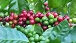 Thị trường cà phê, ca cao ngày 27/4/2017