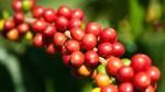 TT cà phê ngày 20/6: Tiếp tục suy yếu