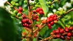 TT cà phê ngày 18/12: Hồi phục nhẹ 100 đồng/kg
