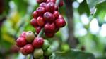 Thị trường đường, cà phê, ca cao thế giới ngày 17/8/2017