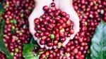 TT cà phê ngày 20/3: Tăng trở lại 200 đồng/kg