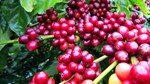 TT cà phê ngày 26/4: Giảm mạnh 500 đồng/kg