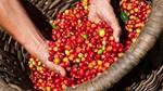 TT cà phê ngày 23/4: Không đổi chốt dưới mức 37.000 đồng/kg