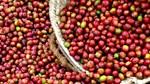 Giá cà phê ngày 19/10 đứt mạch tăng, lùi 100 đồng/kg