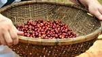 Giá cà phê arabica trên sàn ICE giảm xuống mức thấp kể từ cuối năm 2013