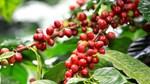 TT cà phê ngày 13/12: Trầm lắng, giá vẫn ở mức thấp