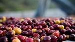 Giá cà phê ngày 18/10 leo thang gần chạm mốc 38.000 đồng/kg
