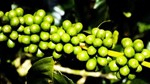 Giá cà phê ngày 21/9 tăng mạnh 400 đồng/kg