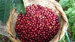 Giá cà phê ngày 22/10 chốt ở 36.800 – 37.300 đồng/kg