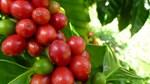 TT cà phê ngày 21/3: Tuột dốc mất 300 đồng/kg