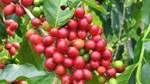 TT cà phê ngày 25/4: Dao động quanh mức 30.400 – 31.300 đồng/kg