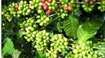 TT cà phê ngày 16/9: Giá giữ vững dưới mốc 34.000 đồng/kg sau khi giảm giá cuối tuần