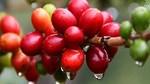 TT cà phê ngày 23/5: Đảo chiều giảm nhẹ 100 đồng/kg