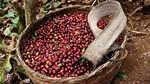 TT cà phê ngày 19/6: Giá lao dốc chạm mức 30.900 đồng/kg tại Lâm Đồng