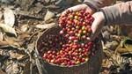 TT cà phê tuần 37: Giá tại các khu vực trọng điểm giảm 300 đồng/kg