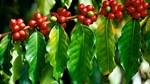 TT cà phê ngày 13/12: Giá thấp, hoạt động giao dịch trầm lắng