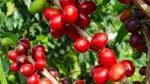 TT cà phê ngày 19/01: Giá đồng loạt giảm nhẹ 200 đồng/kg