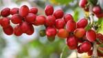 TT cà phê ngày 22/11: Giá tiếp nối đà tăng gần chạm mốc 34.000 đồng/kg
