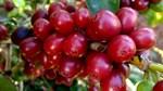 TT cà phê ngày 13/11: Giá tiếp tục giảm nhẹ 100 đồng/kg