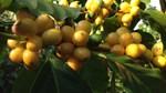 TT cà phê ngày 13/8: Giá đảo chiều tăng nhẹ 100 đồng/kg