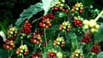 TT cà phê tuần 14: Giá tiếp tục giảm, giao dịch chậm do ảnh hưởng của đại dịch nCoV