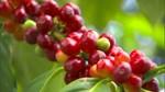 TT cà phê ngày 25/5: Giá bán ra ở 31.200 – 31.600 đồng/kg sau phiên tăng cuối tuần