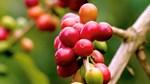 TT cà phê tháng 11/2020: Dự báo giá cà phê toàn cầu sẽ tiếp tục xu hướng tăng