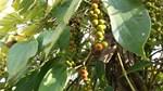 TT hạt tiêu ngày 19/9: Hai tỉnh Tây Nguyên giảm mạnh 500 đồng/kg