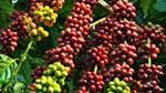 Cà phê Châu Á: Xuất khẩu của Việt Nam trong tháng 4/2019 giảm xuống 2 triệu bao