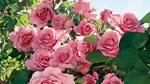 Thị trường hoa Tết chuẩn bị vào mùa