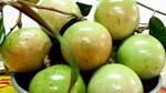 Kiểm soát chặt chất lượng trái vú sữa xuất khẩu sang thị trường Mỹ