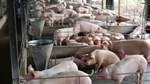 Trung Quốc đồng ý nhập khẩu thịt lợn Việt Nam