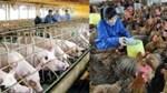 Ngành chăn nuôi: Nhạy bén, chủ động hội nhập