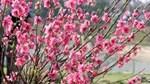 Hà Nội: Thị trường hoa Tết bấp bênh theo thời tiết