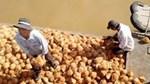 Giá dừa khô nguyên liệu xuống thấp kỷ lục, 1.500 trái dừa chỉ bán được 3 triệu đồng