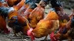 Thị trường gia cầm: Giá gà giảm, thịt gà nhập khẩu được kiểm soát chặt chẽ