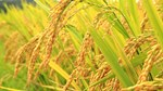 Giá lúa gạo tại ĐBSCL giảm nhẹ