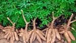 Giá sắn nguyên liệu giảm nhẹ do đầu ra xuất khẩu gặp khó khăn