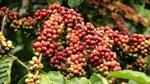 Sản lượng cà phê Việt Nam niên vụ 2015 giảm 15%