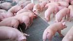 Giá lợn hơi ngày 12/8/2020 tiếp tục giảm khoảng 1.000 - 5.000 đồng/kg