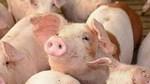 Giá lợn hơi ngày 13/8/2020 tăng giảm trái chiều