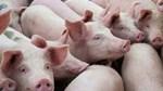Giá lợn hơi ngày 21/9/2020: Tăng nhẹ trên cả ba miền