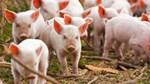 Giá lợn hơi ngày 24/9/2020: Giảm sâu tới 4.000 đồng/kg