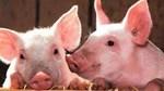 Giá lợn hơi ngày 25/9/2020: Tăng giảm trái chiều