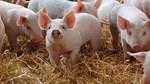 Giá lợn hơi ngày 27/9/2020: Đi ngang trên cả 3 miền