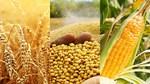Thị trường ngũ cốc thế giới ngày 22/1/2021: Giá tiếp tục giảm giá do mưa lớn