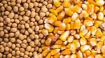 Trung Quốc mua 1,36 triệu tấn ngô từ Mỹ