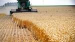 Mưa làm chậm việc thu hoạch đậu tương, đẩy lùi việc trồng Ngô tại Brazil