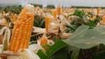 TT ngũ cốc thế giới ngày 07/05/2021: Giá ngô đạt mức cao nhất trong 8 năm