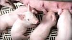 Tín hiệu tốt của ngành chăn nuôi: Hơn 2.400 heo giống GF24 chất lượng cao được xuất khẩu